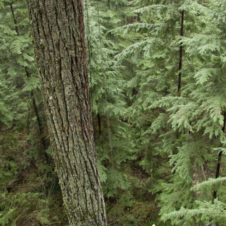 kanadisches Hemlockholz