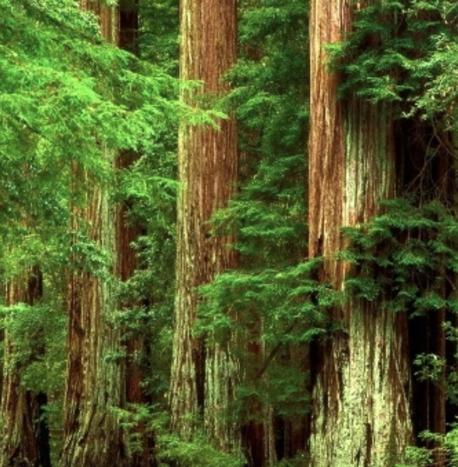 rotes Zedernholz Baum